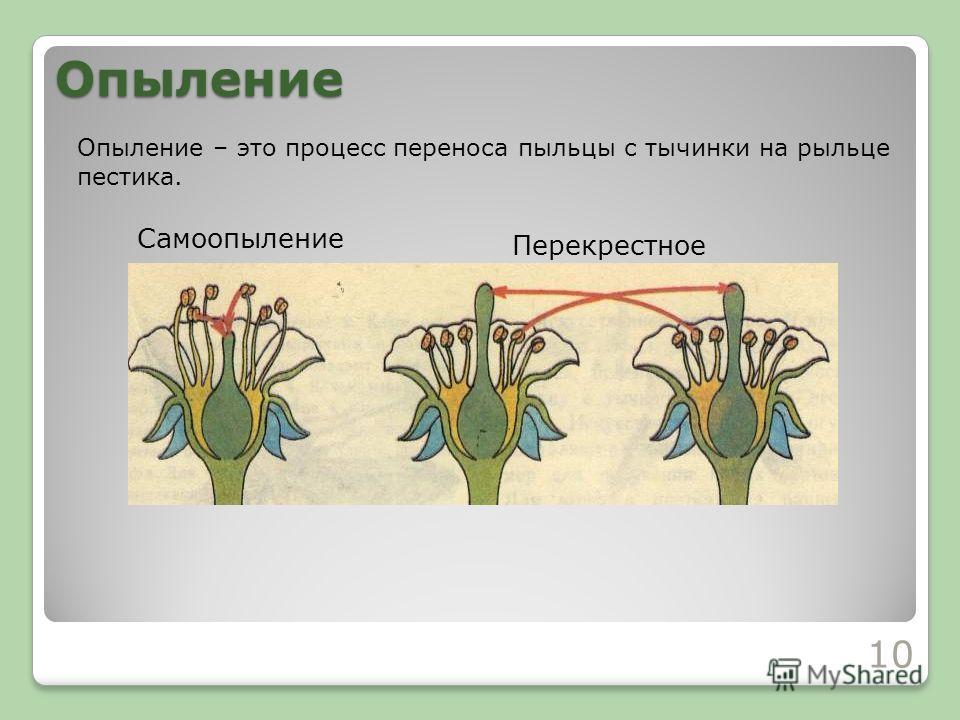Опыление Опыление – это процесс переноса пыльцы с тычинки на рыльце пестика. 10 Самоопыление Перекрестное