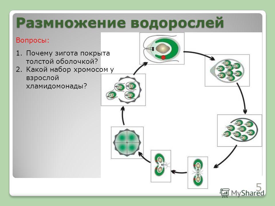 Размножение водорослей 1.Почему зигота покрыта толстой оболочкой? 2.Какой набор хромосом у взрослой хламидомонады? Вопросы: 5