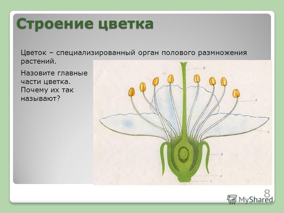 Строение цветка 8 Цветок – специализированный орган полового размножения растений. Назовите главные части цветка. Почему их так называют?