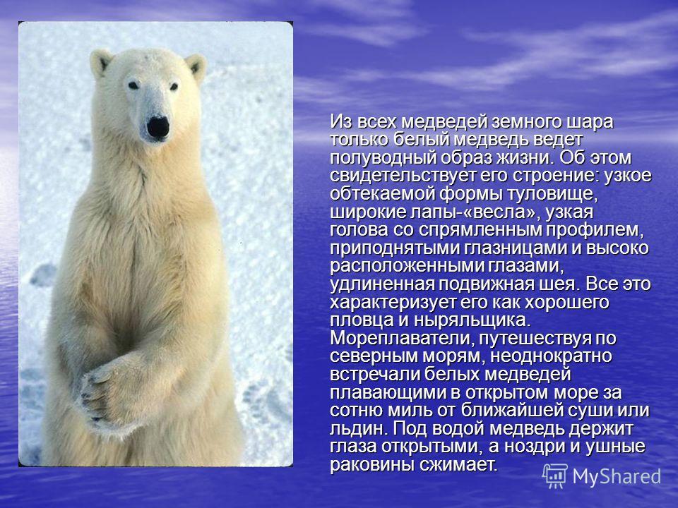 Из всех медведей земного шара только белый медведь ведет полуводный образ жизни. Об этом свидетельствует его строение: узкое обтекаемой формы туловище, широкие лапы-«весла», узкая голова со спрямленным профилем, приподнятыми глазницами и высоко распо