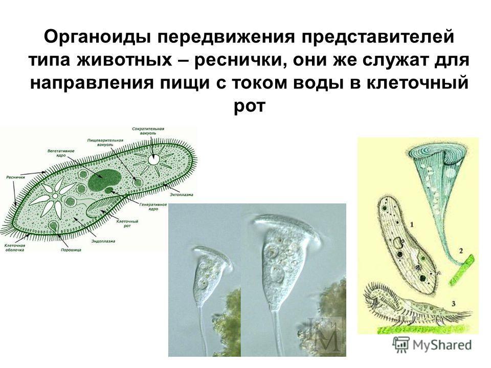 Органоиды передвижения представителей типа животных – реснички, они же служат для направления пищи с током воды в клеточный рот