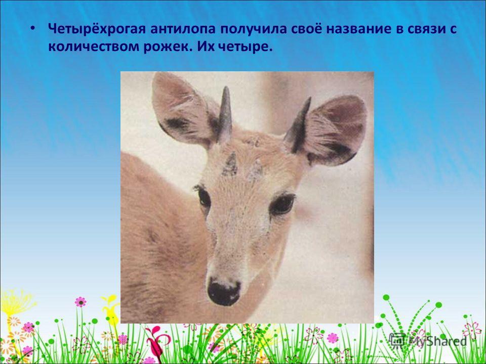 Четырёхрогая антилопа получила своё название в связи с количеством рожек. Их четыре.