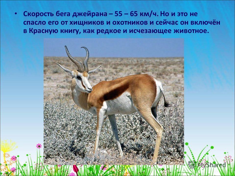 Скорость бега джейрана – 55 – 65 км/ч. Но и это не спасло его от хищников и охотников и сейчас он включён в Красную книгу, как редкое и исчезающее животное.
