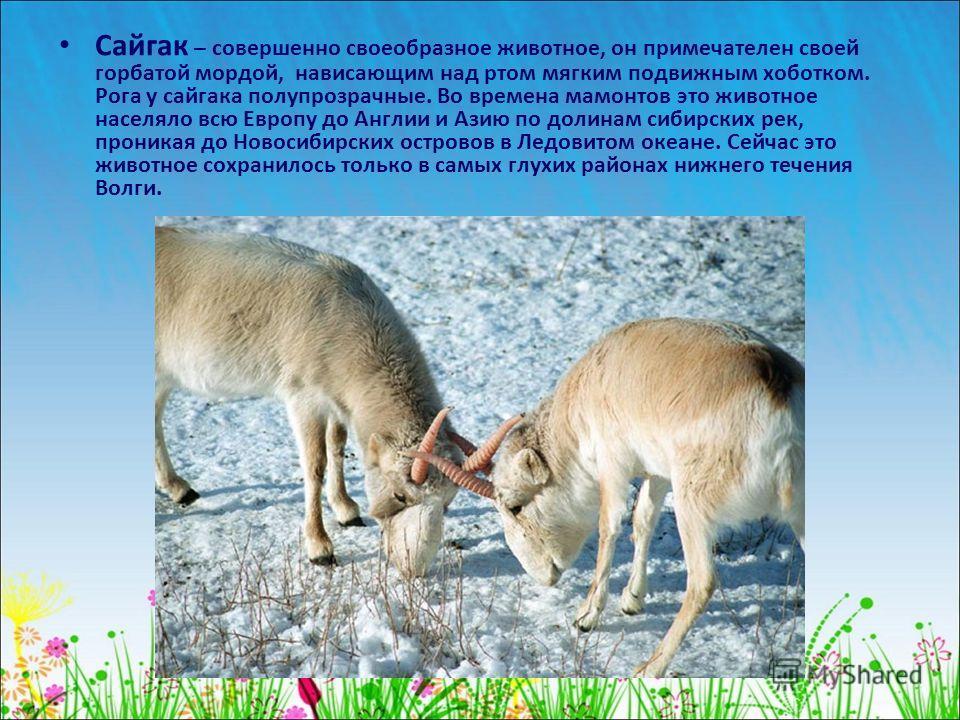 Сайгак – совершенно своеобразное животное, он примечателен своей горбатой мордой, нависающим над ртом мягким подвижным хоботком. Рога у сайгака полупрозрачные. Во времена мамонтов это животное населяло всю Европу до Англии и Азию по долинам сибирских