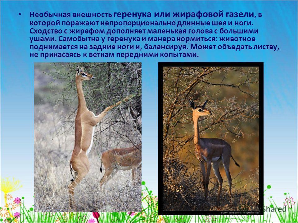 Необычная внешность геренука или жирафовой газели, в которой поражают непропорционально длинные шея и ноги. Сходство с жирафом дополняет маленькая голова с большими ушами. Самобытна у геренука и манера кормиться: животное поднимается на задние ноги и