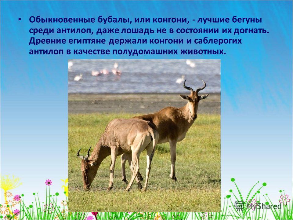 Обыкновенные бубалы, или конгони, - лучшие бегуны среди антилоп, даже лошадь не в состоянии их догнать. Древние египтяне держали конгони и саблерогих антилоп в качестве полудомашних животных.