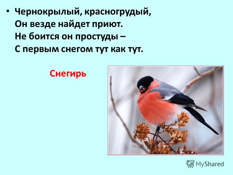 Песня громкий перезвон ци-ци-ци-пи, ин-чи-ин-чи, крик звонкое пинь-пинь- чрррж. Обитает в лесах и парках, поселяется рядом с человеком. Зимой питается семенами и другой растительной пищей. Обычный посетитель кормушек в городских парках. Гнездо устраи