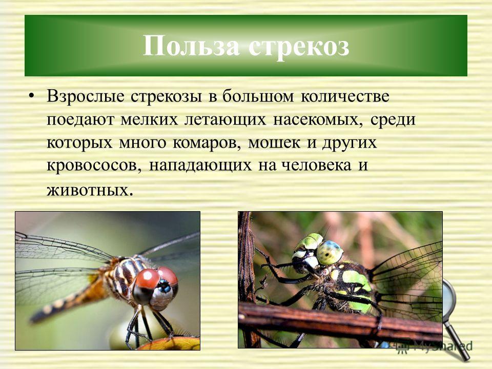 Польза стрекоз Взрослые стрекозы в большом количестве поедают мелких летающих насекомых, среди которых много комаров, мошек и других кровососов, нападающих на человека и животных.
