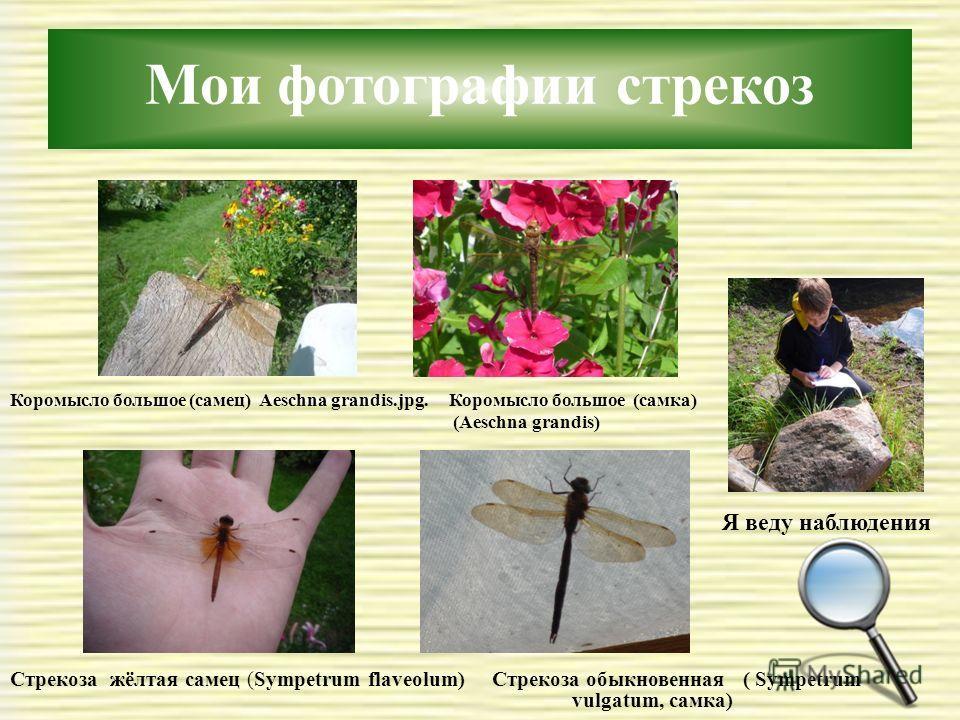 Мои фотографии стрекоз Коромысло большое (самец) Aeschna grandis.jpg. Коромысло большое (самка) (Aeschna grandis) Стрекоза жёлтая самец (Sympetrum flaveolum) Стрекоза обыкновенная ( Sympetrum vulgatum, самка) Я веду наблюдения