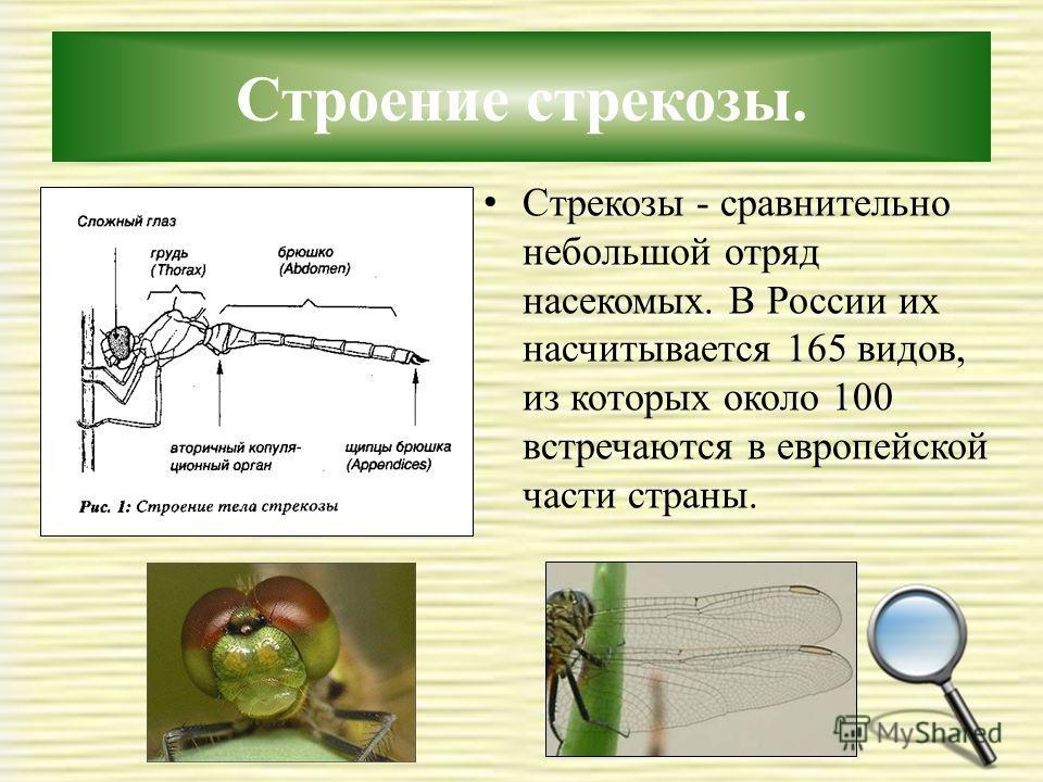 Строение стрекозы. Стрекозы - сравнительно небольшой отряд насекомых. В России их насчитывается 165 видов, из которых около 100 встречаются в европейской части страны.