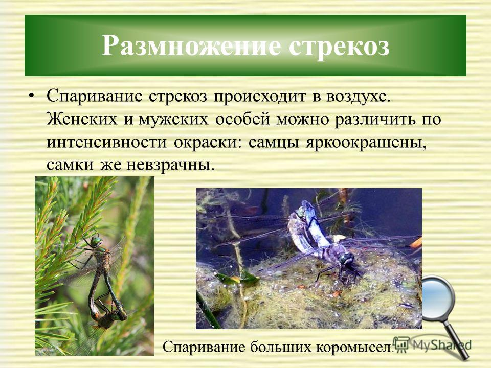 Размножение стрекоз Спаривание стрекоз происходит в воздухе. Женских и мужских особей можно различить по интенсивности окраски: самцы яркоокрашены, самки же невзрачны. Спаривание больших коромысел.