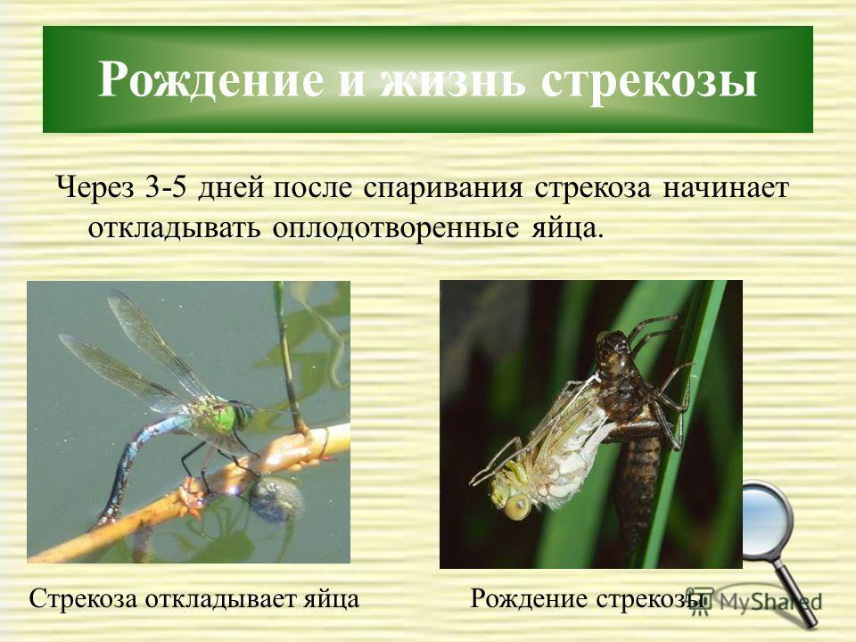 Рождение и жизнь стрекозы Через 3-5 дней после спаривания стрекоза начинает откладывать оплодотворенные яйца. Рождение стрекозыСтрекоза откладывает яйца