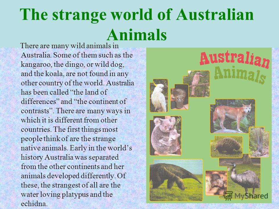 The strange world of Australian Animals There are many wild animals in Australia. Some of them such as the kangaroo, the dingo, or wild dog, and the koala, are not found in any other country of the world. Australia has been called the land of differe