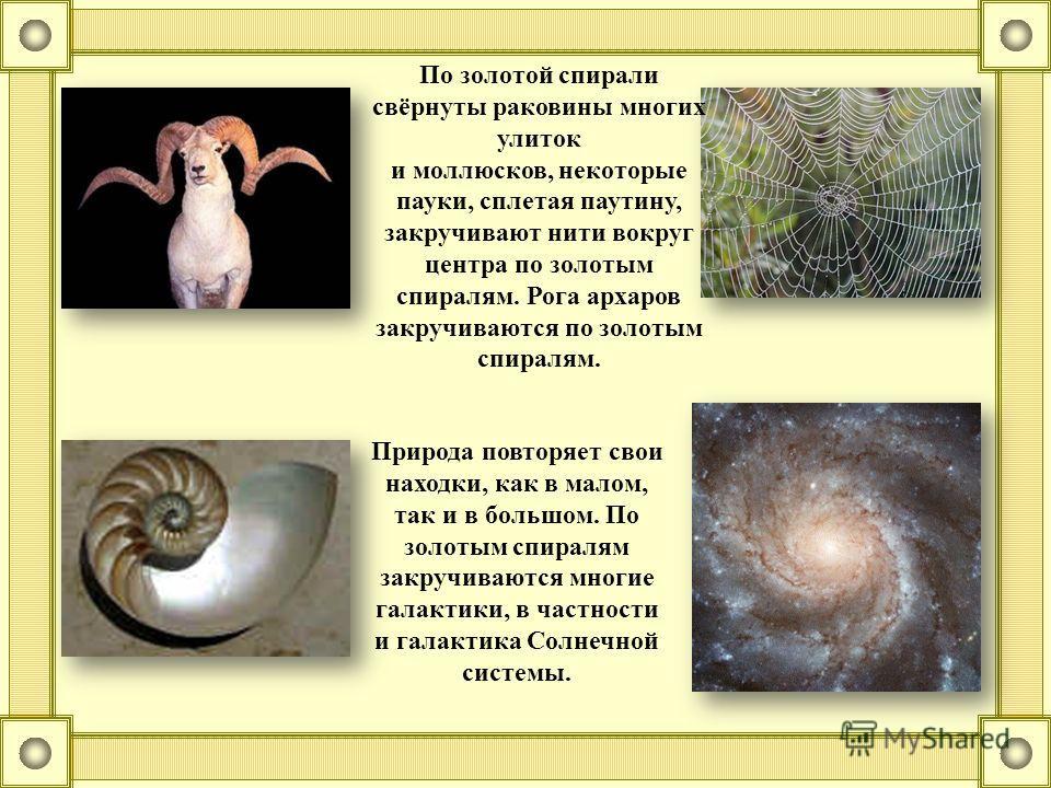 Природа повторяет свои находки, как в малом, так и в большом. По золотым спиралям закручиваются многие галактики, в частности и галактика Солнечной системы. По золотой спирали свёрнуты раковины многих улиток и моллюсков, некоторые пауки, сплетая паут