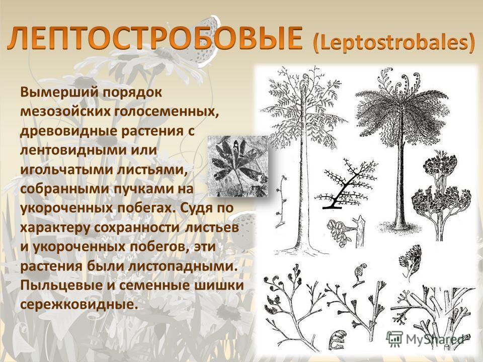 Вымерший порядок мезозойских голосеменных, древовидные растения с лентовидными или игольчатыми листьями, собранными пучками на укороченных побегах. Судя по характеру сохранности листьев и укороченных побегов, эти растения были листопадными. Пыльцевые