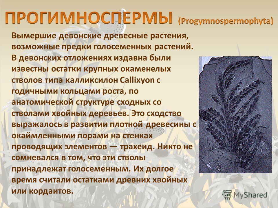 Вымершие девонские древесные растения, возможные предки голосеменных растений. В девонских отложениях издавна были известны остатки крупных окаменелых стволов типа калликсилон Callixyon с годичными кольцами роста, по анатомической структуре сходных с