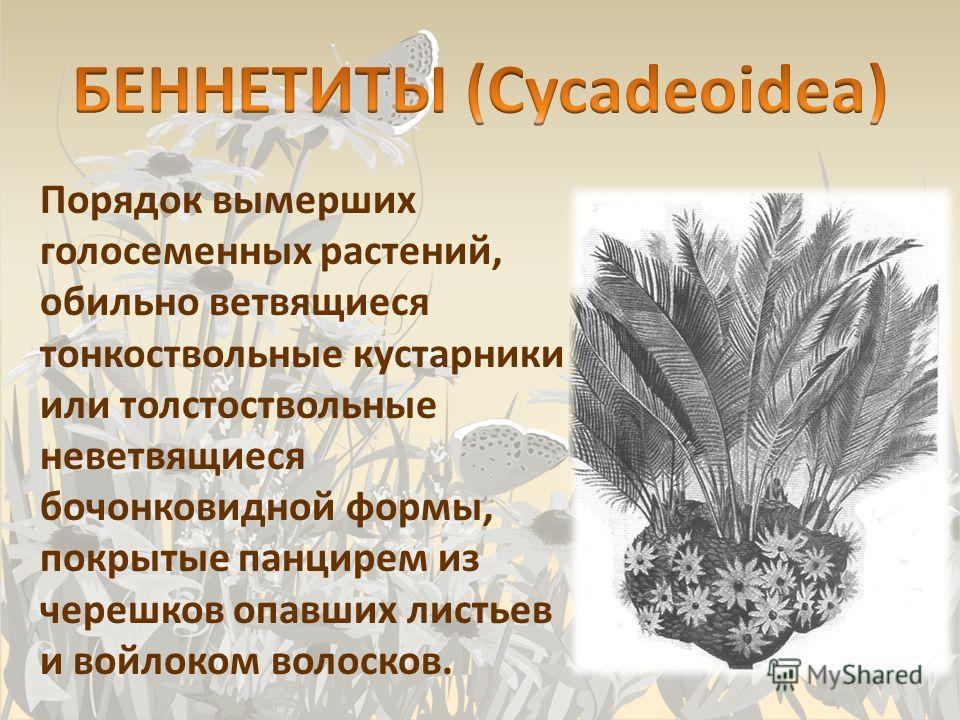 Порядок вымерших голосеменных растений, обильно ветвящиеся тонкоствольные кустарники или толстоствольные неветвящиеся бочонковидной формы, покрытые панцирем из черешков опавших листьев и войлоком волосков.