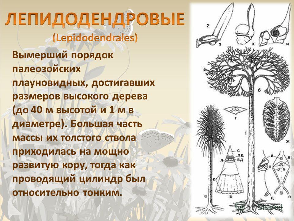 Вымерший порядок палеозойских плауновидных, достигавших размеров высокого дерева (до 40 м высотой и 1 м в диаметре). Большая часть массы их толстого ствола приходилась на мощно развитую кору, тогда как проводящий цилиндр был относительно тонким.