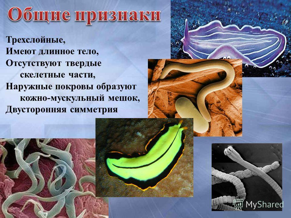 Трехслойные, Имеют длинное тело, Отсутствуют твердые скелетные части, Наружные покровы образуют кожно-мускульный мешок, Двусторонняя симметрия