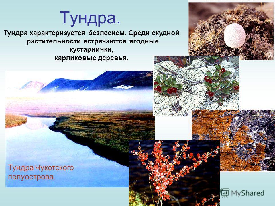 Тундра. Тундра характеризуется безлесием. Среди скудной растительности встречаются ягодные кустарнички, карликовые деревья. Тундра Чукотского полуострова.