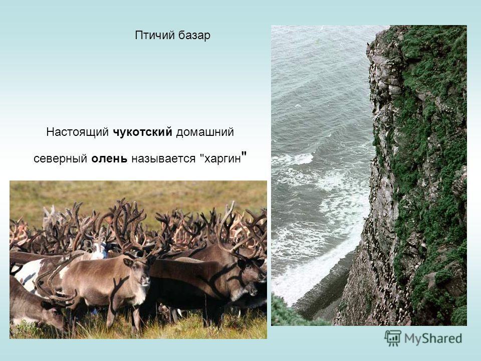 Птичий базар Настоящий чукотский домашний северный олень называется харгин