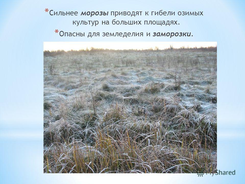 * Сильнее морозы приводят к гибели озимых культур на больших площадях. * Опасны для земледелия и заморозки.