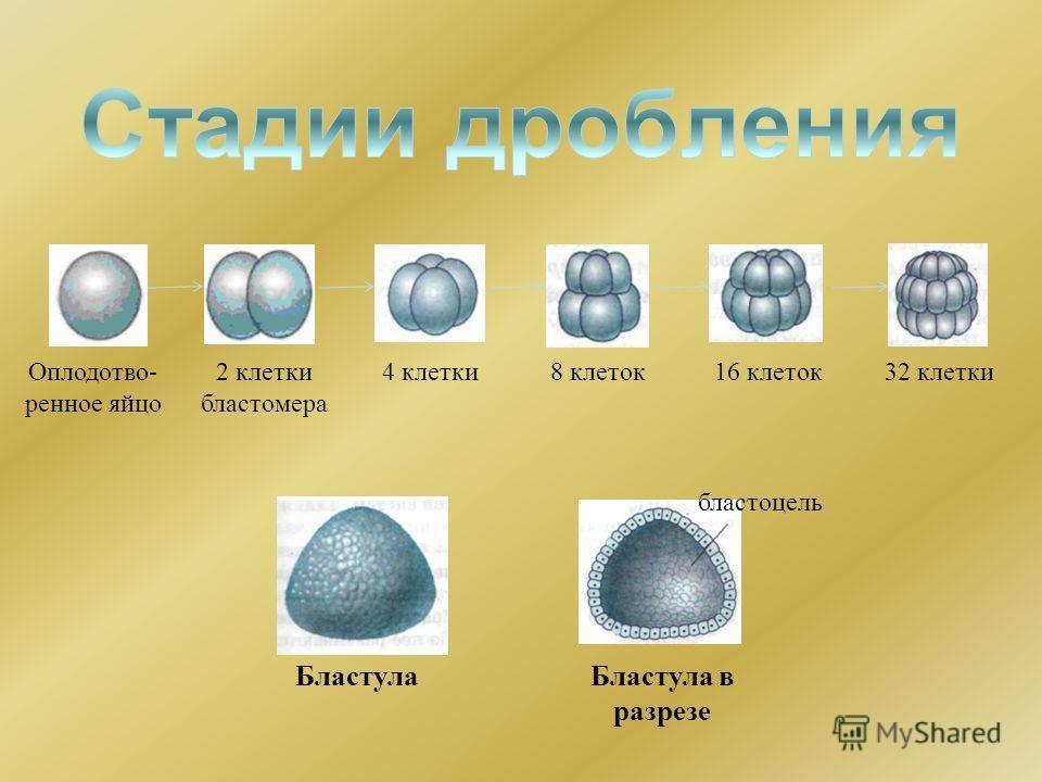 Оплодотво- ренное яйцо 2 клетки бластомера 4 клетки8 клеток16 клеток32 клетки бластоцель БластулаБластула в разрезе