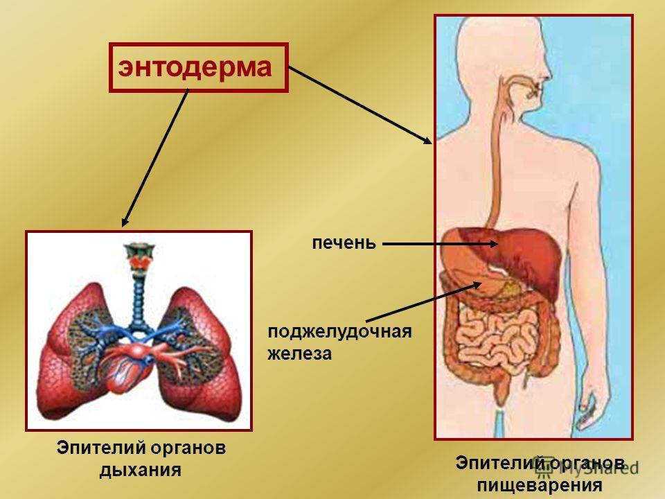 энтодерма Эпителий органов дыхания Эпителий органов пищеварения печень поджелудочная железа