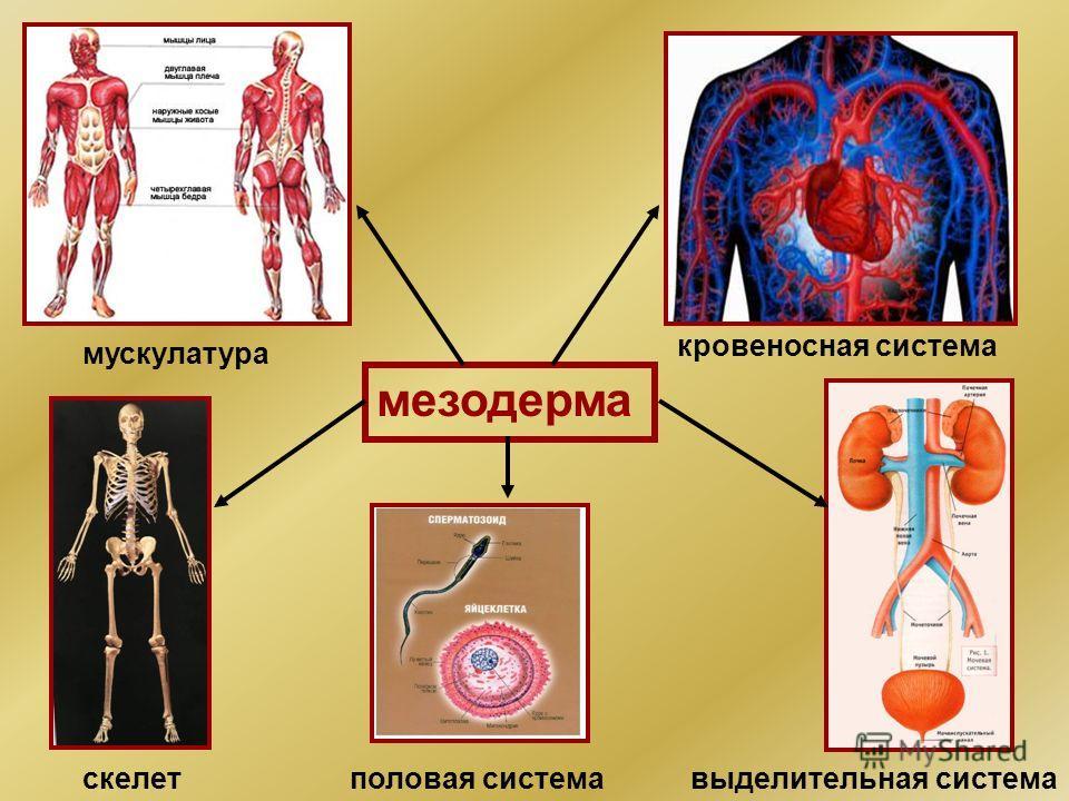 мезодерма мускулатура кровеносная система скелетвыделительная система половая система