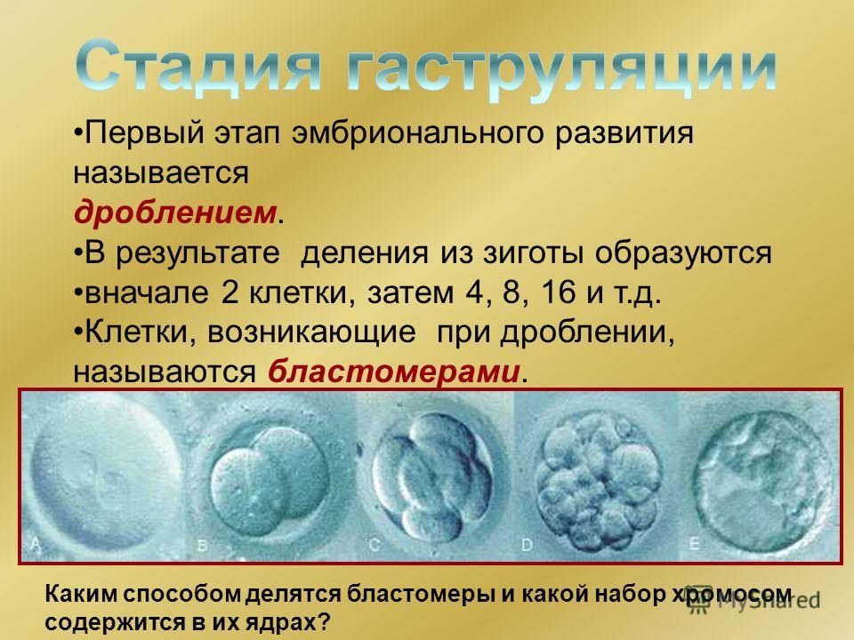 Первый этап эмбрионального развития называется дроблением. В результате деления из зиготы образуются вначале 2 клетки, затем 4, 8, 16 и т.д. Клетки, возникающие при дроблении, называются бластомерами. Каким способом делятся бластомеры и какой набор х
