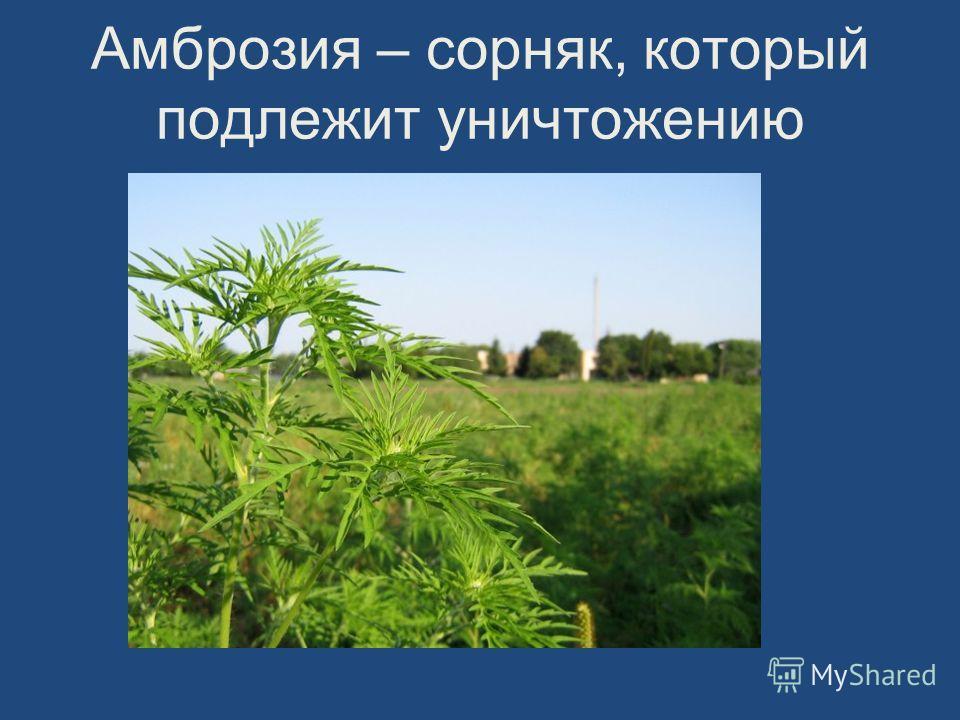 Амброзия – сорняк, который подлежит уничтожению