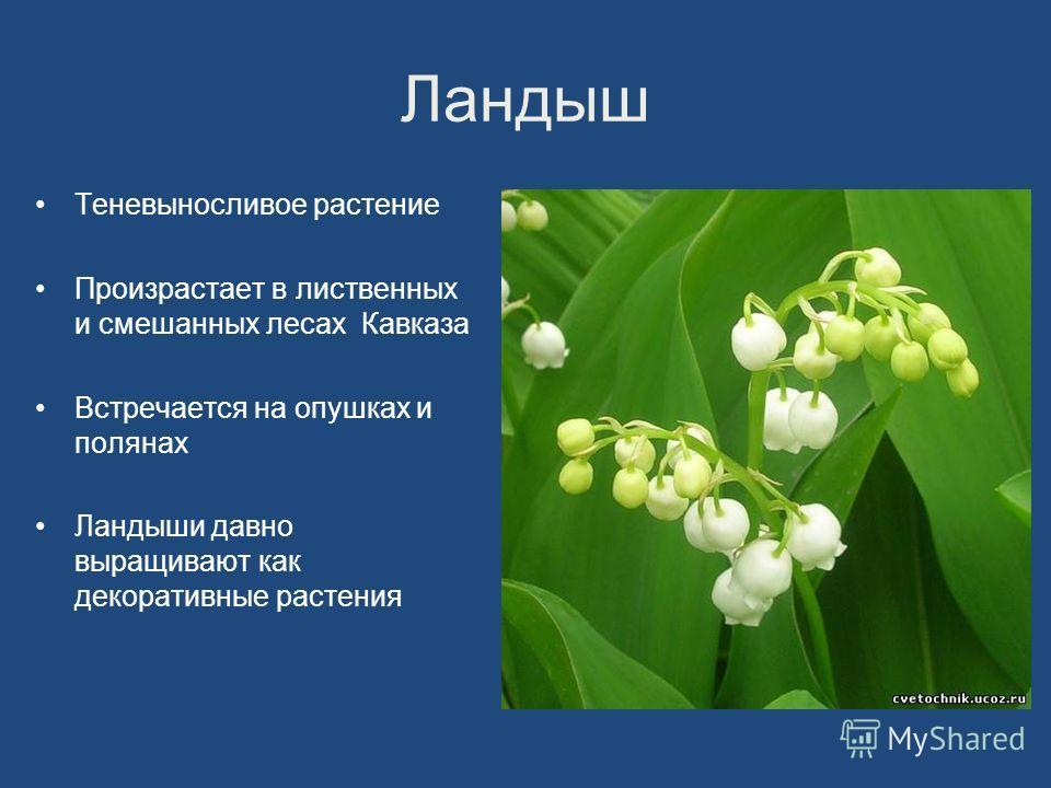 Ландыш Теневыносливое растение Произрастает в лиственных и смешанных лесах Кавказа Встречается на опушках и полянах Ландыши давно выращивают как декоративные растения