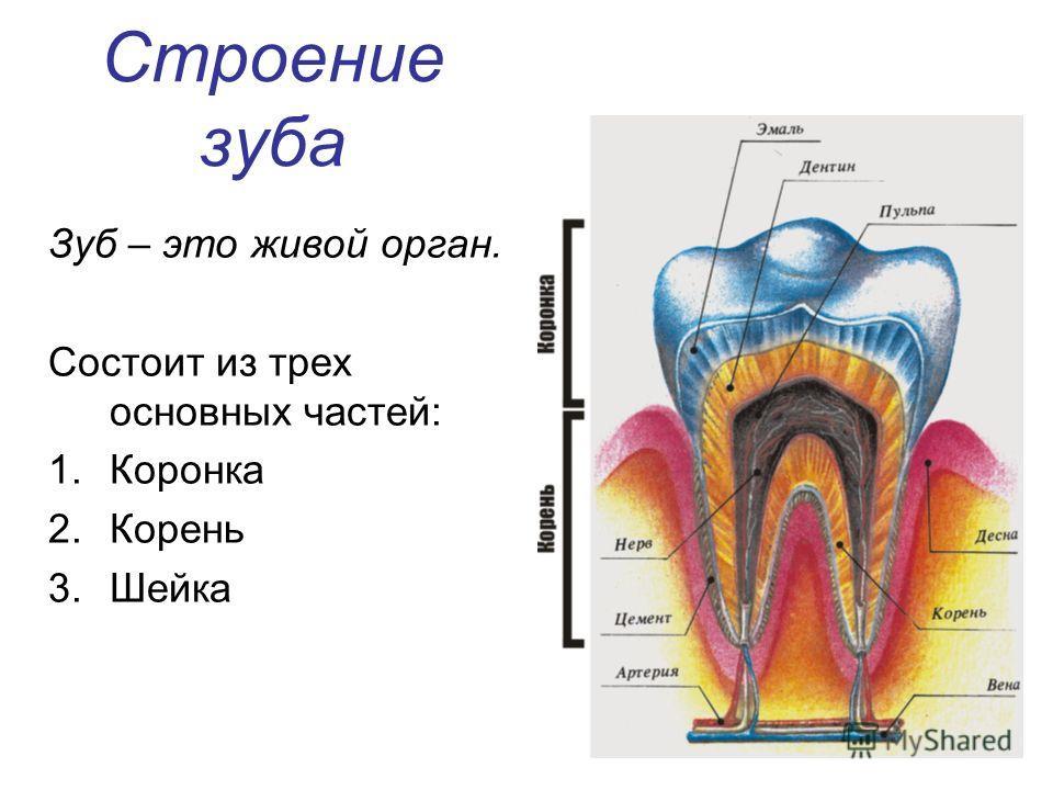 Строение зуба Зуб – это живой орган. Состоит из трех основных частей: 1.Коронка 2.Корень 3.Шейка
