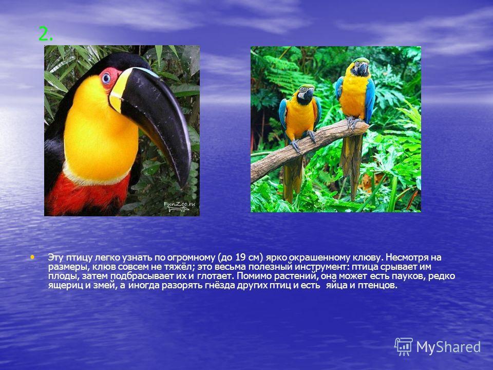 2. Эту птицу легко узнать по огромному (до 19 см) ярко окрашенному клюву. Несмотря на размеры, клюв совсем не тяжёл; это весьма полезный инструмент: птица срывает им плоды, затем подбрасывает их и глотает. Помимо растений, она может есть пауков, редк