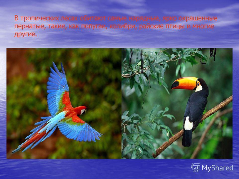 В тропических лесах обитают самые нарядные, ярко окрашенные пернатые, такие, как попугаи, колибри, райские птицы и многие другие.