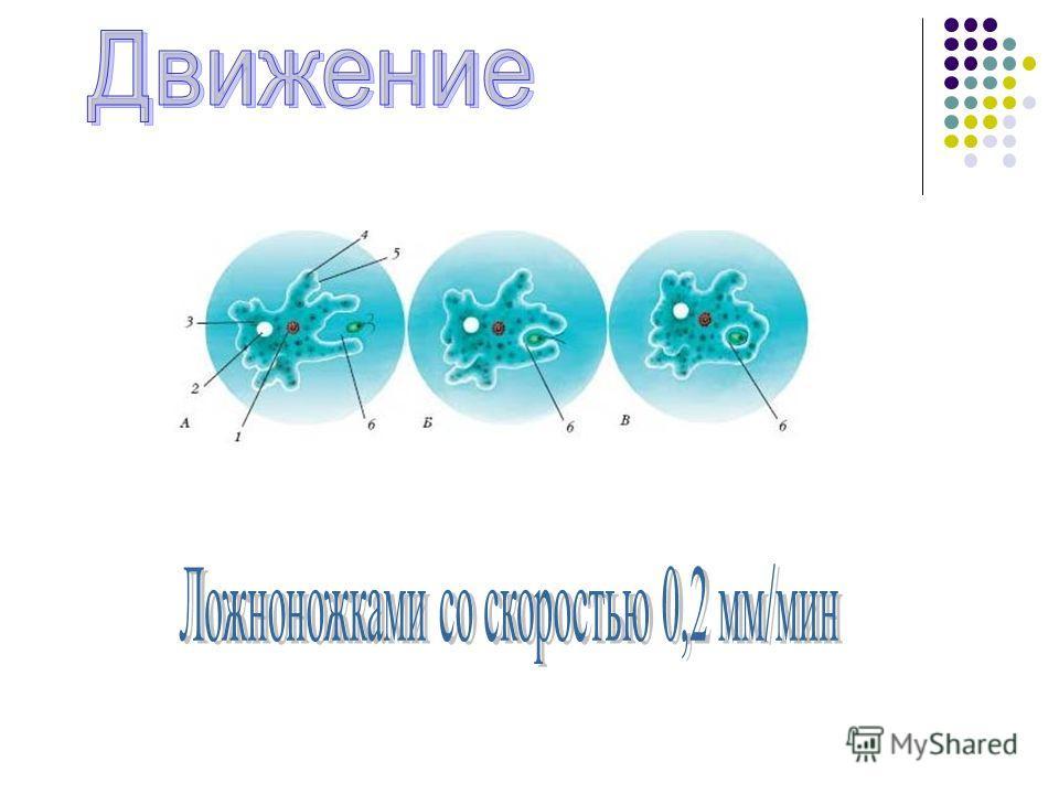 ? ? ? ? ? ? Ложноножки Оболочка Цитоплазма Ядро Сократительная вакуоль Пищеварительная вакуоль