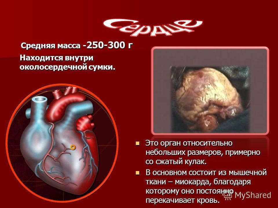 Средняя масса -250-300 г Находится внутри околосердечной сумки. Это орган относительно небольших размеров, примерно со сжатый кулак. Это орган относительно небольших размеров, примерно со сжатый кулак. В основном состоит из мышечной ткани – миокарда,