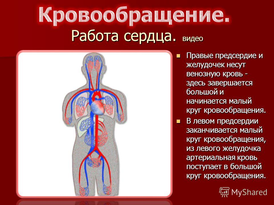 Работа сердца. видео Правые предсердие и желудочек несут венозную кровь - здесь завершается большой и начинается малый круг кровообращения. Правые предсердие и желудочек несут венозную кровь - здесь завершается большой и начинается малый круг кровооб
