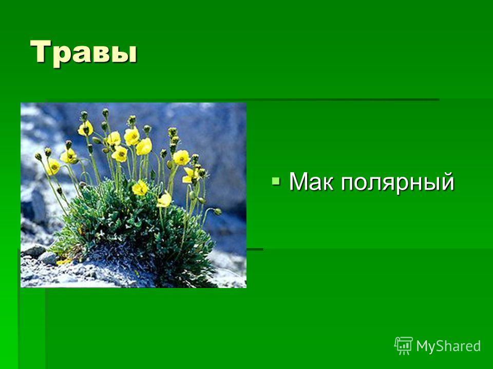 Травы Мак полярный Мак полярный