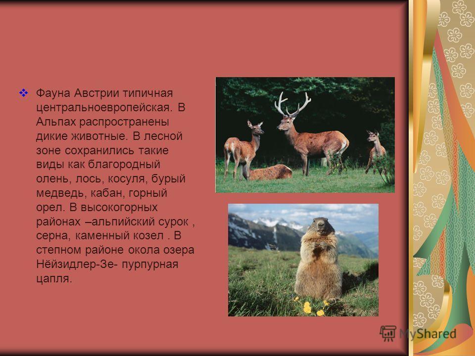 Фауна Австрии типичная центральноевропейская. В Альпах распространены дикие животные. В лесной зоне сохранились такие виды как благородный олень, лось, косуля, бурый медведь, кабан, горный орел. В высокогорных районах –альпийский сурок, серна, каменн
