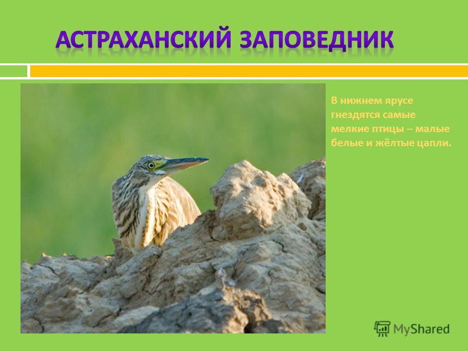 В нижнем ярусе гнездятся самые мелкие птицы – малые белые и жёлтые цапли.
