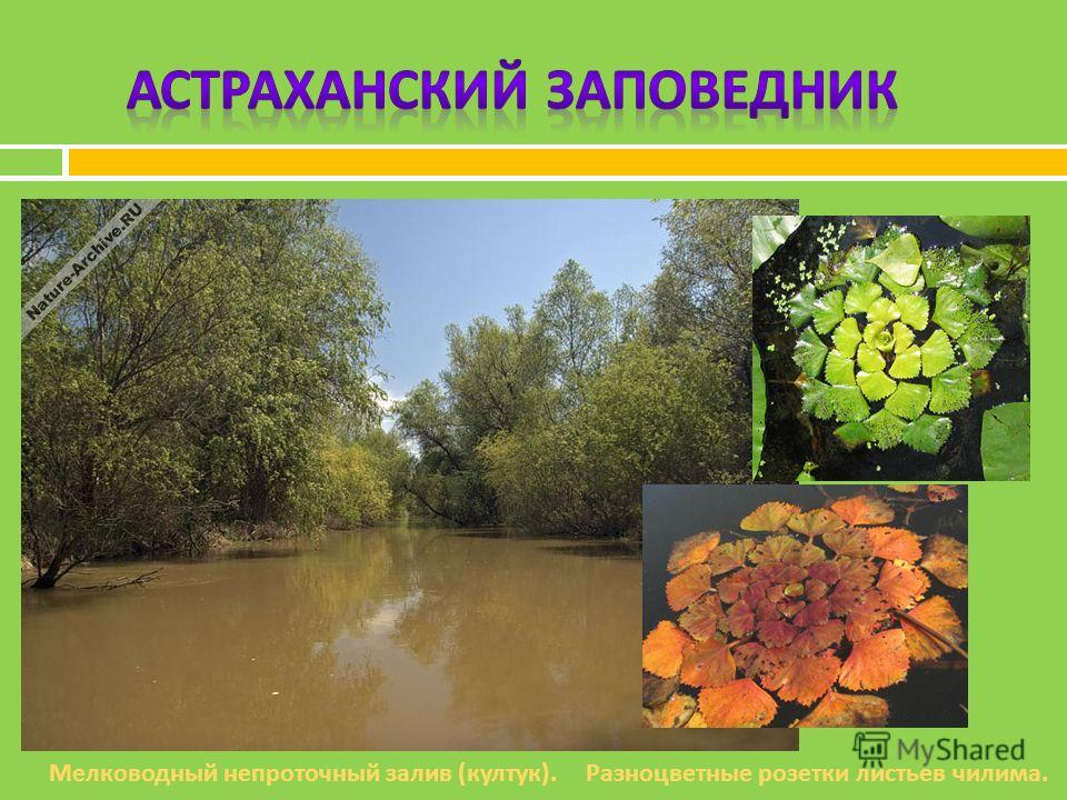 Разноцветные розетки листьев чилима. Мелководный непроточный залив ( култук ).