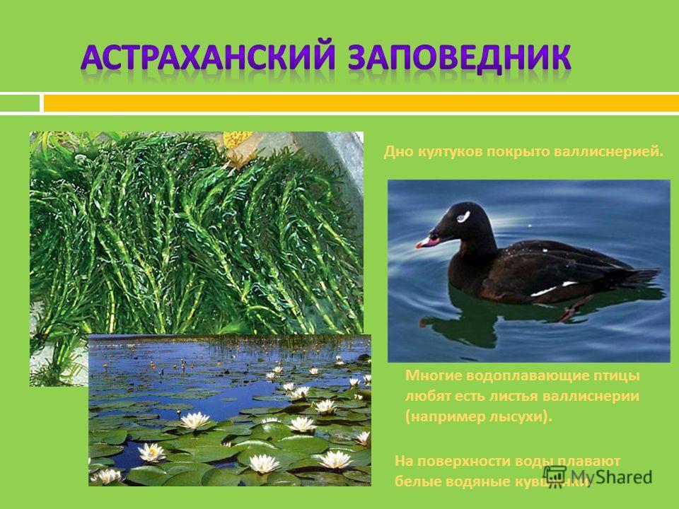 Дно култуков покрыто валлиснерией. Многие водоплавающие птицы любят есть листья валлиснерии ( например лысухи ). На поверхности воды плавают белые водяные кувшинки.