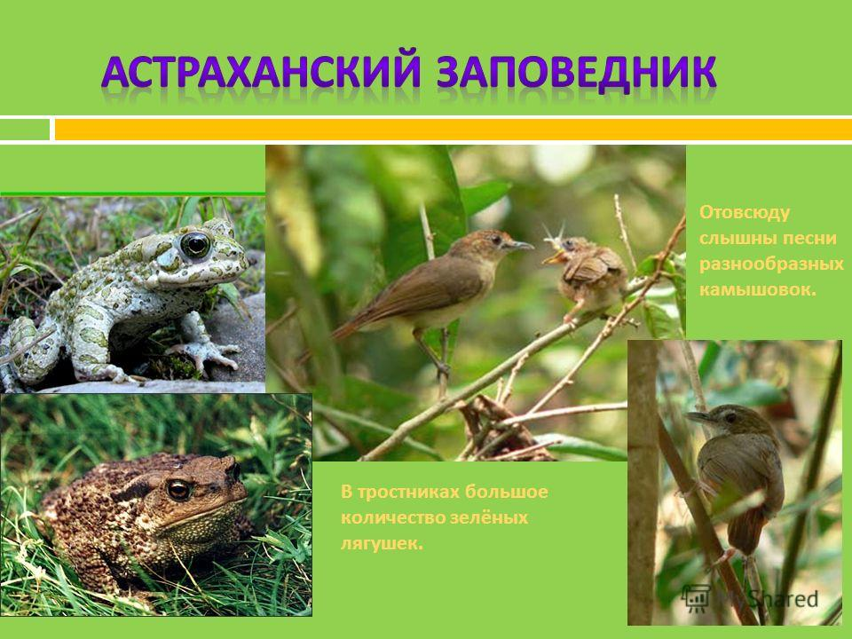 Отовсюду слышны песни разнообразных камышовок. В тростниках большое количество зелёных лягушек.