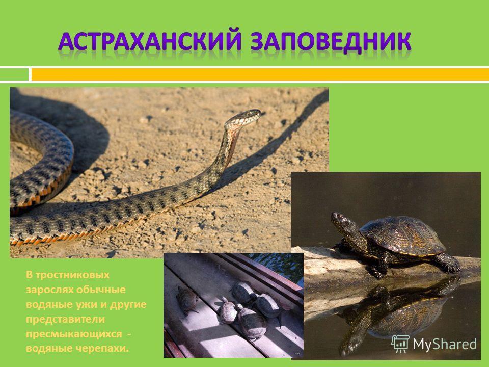 В тростниковых зарослях обычные водяные ужи и другие представители пресмыкающихся - водяные черепахи.