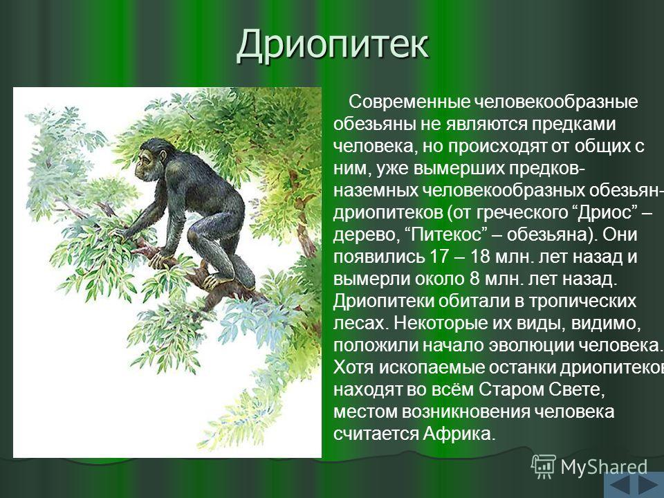 Дриопитек Современные человекообразные обезьяны не являются предками человека, но происходят от общих с ним, уже вымерших предков- наземных человекообразных обезьян- дриопитеков (от греческого Дриос – дерево, Питекос – обезьяна). Они появились 17 – 1