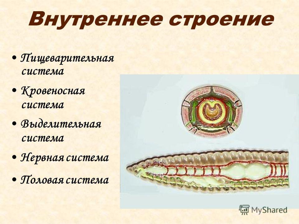 Внутреннее строение Пищеварительная система Кровеносная система Выделительная система Нервная система Половая система