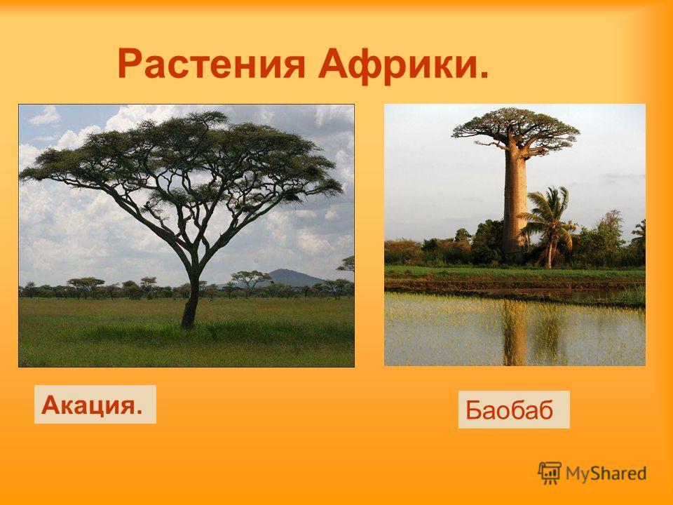 Растения Африки. Акация. Баобаб