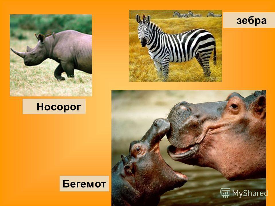 Носорог зебра Бегемот