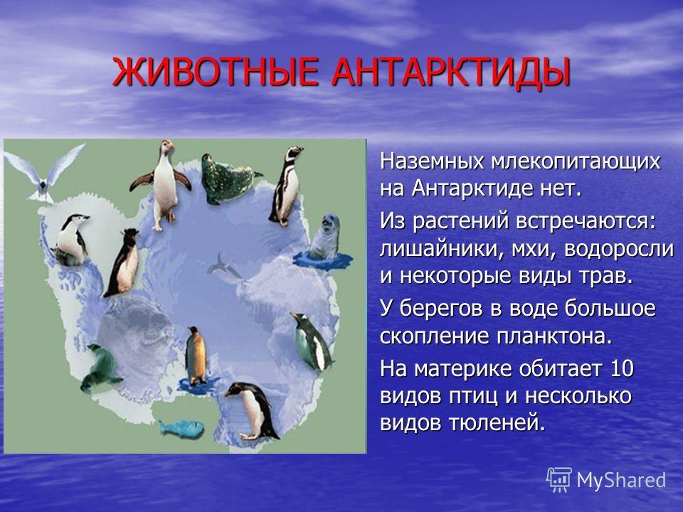 ЖИВОТНЫЕ АНТАРКТИДЫ Наземных млекопитающих на Антарктиде нет. Наземных млекопитающих на Антарктиде нет. Из растений встречаются: лишайники, мхи, водоросли и некоторые виды трав. Из растений встречаются: лишайники, мхи, водоросли и некоторые виды трав